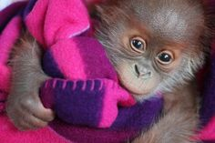 Orang-Utan-Baby Rieke verlässt Berlin, sie kommt in die Monkey World nach Dorset. http://www.morgenpost.de/137175880