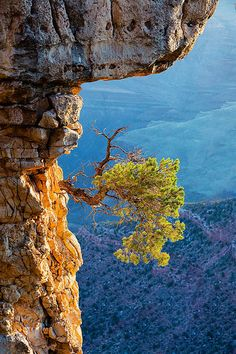 Grandview Point, Grand Canyon, Arizona This tough little tree has found its niche on a rock face, sheltered from above by a limestone ledge, but open to the rays of the morning sun. Grand Canyon National Park, National Parks, Beautiful World, Beautiful Places, Weird Trees, Unique Trees, Foto Art, Amazing Nature, Amazing Grace