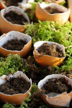 Pflanzeanzucht in Eierschalen sind auch eine hübsche Dekoration für die Fensterbank