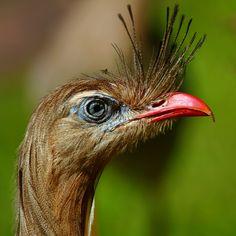 Foto seriema (Cariama cristata) por André Luiz Briso   Wiki Aves - A Enciclopédia das Aves do Brasil