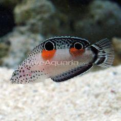 Twin Spot Wrasse Saltwater Aquarium Fish, Saltwater Tank, Mandarin Fish, Water Life, Water 3, Beautiful Sea Creatures, Fish Breeding, Cichlids, All Gods Creatures