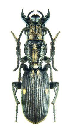 Anthia (Termophilum) aequilatera – Carabidae