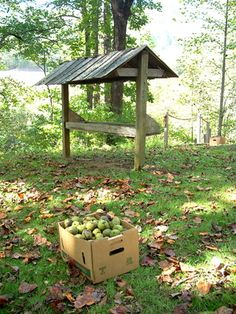 How to collect, dry and shell black walnuts.  Like your going to do this!  lol