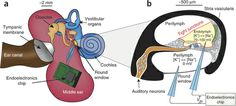 Anatomy and physiology of the inner ear.