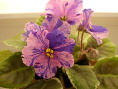 ❤️ African Violet Saintpaulia ❤️ Leaf Le Nastja New Russian Fantazy Variegate | eBay