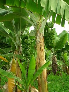 My mommy in law is going to give us a section of her banana plantation near our future home.
