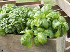 Le basilic se cultive très bien en jardinière en compagnie d'autres plantes aromatiques - F. Marre - Rustica