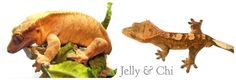 2015 breeding pair of Crested Geckos owned by Sierra Mason Coe Left- Jelly (female orange tiger) Right- Chi (male orange creamsickle)