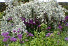 Allium hollandicum and Elaeagnus pungens 'Quicksilver', landscaping, landscape design, gardening, color palette