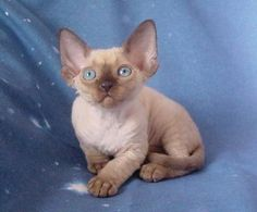 Devon Rex kitty - I want one!
