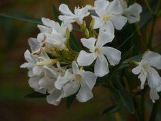 Wenn der Oleander gelbe Blätter bekommt, müssen die Ursachen festgestellt werden, um die Pflege zu ändern. Im Beitrag berichte ich über meine Erfahrungen.