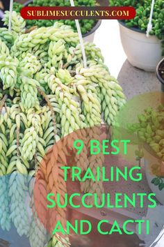 To add a little variety to your garden try some trailing succulents and cacti. Sublime Succulents wants to help you. We have compiled a list of 9 trailing succulents and cacti, identifying their qualities and answering your questions. Is it easy or complicated to care for them? Does the plant require full, partial, indirect sunlight or must it remain in the shade in order to thrive. A little water or no water at all? Choose the best plant for you. #succulents #trailingcacti #trailingsucculents Cool Plants, Air Plants, Cacti And Succulents, Cactus Plants, Rat Tail Cactus, Succulent Species, Epiphyte, Succulent Care, Growing Seeds