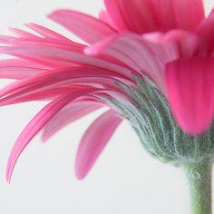 ~~ Pink Gerbera ~~