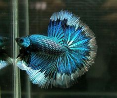 Tail Types & Patterns - Betta Late Than Never Rescue