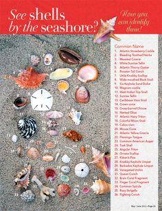 Identifying Caribbean Sea Shells – conch, cockle, flamingo tongue – Marty Thompson - Touching and Emotional Image Seashell Art, Seashell Crafts, Beach Crafts, Seashell Identification, Seashell Projects, Driftwood Projects, Driftwood Art, Shell Beach, Cockles