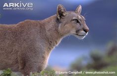 Other than man, the large, slenderpuma (Puma concolor) has the greatest natural distribution of any terrestrial mammal in the Western Hemisphere. The puma, also known as the cougar, mountain...