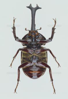 カブトムシの腹 標本 (c)kubo hidekazu/Nature Production Reptiles, Insect Photos, Beetle Insect, Bugs And Insects, Botanical Drawings, Zbrush, Tattoo Drawings, Printmaking, Spider