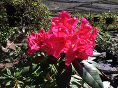 Radium rhododendron, #sonomahort, Sonoma Horticultural Nursery — Sebastopol, CA http://www.sonomahort.com