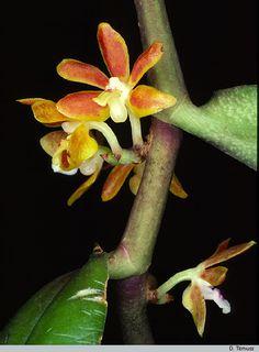 Orchid: Trichoglottis amesiana