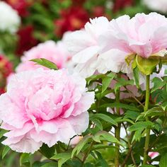 About Tree Peonies~Most varieties are hardy in Zones 4-8, reach 6 feet tall and wide (or so), and grow best in full sun and moist, well-drained soil rich in organic matter. They don't typically require pruning, but if it becomes necessary to control their size, the best time to do it is spring, right after they finish flowering.