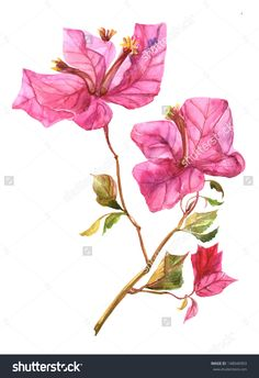 stock-photo-bougainvillea-148046903.jpg (1096×1600)