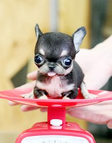 Little darling teacup chihuahua puppy