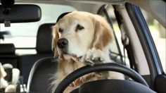 Un chien a pris le volant du camion de son maître. L'animal a provoqué un accident