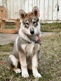 Wolamute? Malamute / Timber Wolf hybrid. <3!