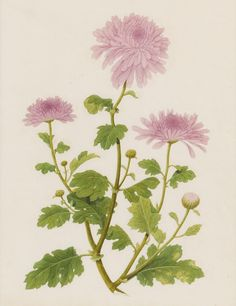 Chinese School (c. 1790-1810) - Botanical study of Chrysanthemums - Watercolor by unidentified Cantonese artist