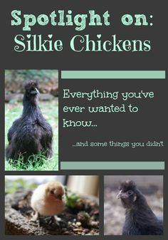 Breed Spotlight: The Silkie Chicken. These extraordinary creatures are a wonderful addition to any backyard flock, and they have some surprising characteristics!