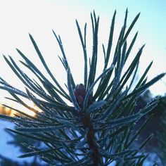 "Pine needles ""sugar"" coated"