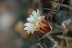 Acercamiento a flores de biznaga de chilitos