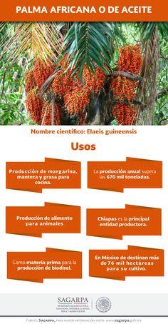 La producción anual de palma de africana supera las 670 mil toneladas. SAGARPA SAGARPAMX
