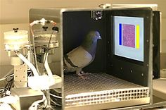 Brainy bird: Pigeons uncommonly good at distinguishing cancerous from normal breast tissue - http://scienceblog.com/479598/brainy-bird-pigeons-uncommonly-good-at-distinguishing-cancerous-from-normal-breast-tissue/