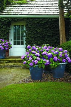 Learn about the most beautiful, hardy hydrangeas available. Endless Summer hydrangeas provide endless color and blooms all season long, year after year. Meet the four beautiful varieties of hydrangea in the Endless Summer® Collection. Hydrangea Potted, Hydrangea Shrub, Limelight Hydrangea, Hydrangea Care, Hydrangea Not Blooming, Hydrangea Varieties, Potted Flowers, Hydrangea Flower, Gardens