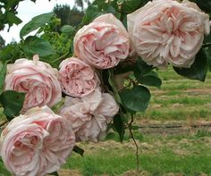 Souvenir de la Malmaison, a David Austen rose (named in memory of Empress Joséphine's famous garden at Malmaison)