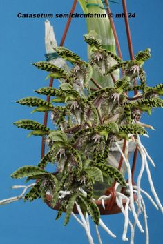 Catasetum Semicirculatum | Catasetum semicirculatum
