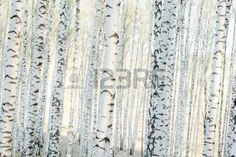 Birch Forest In Sunlight In Mural - RF Images| Murals Your Way