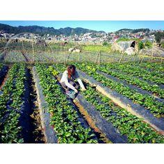 Strawberry picking.  La trinidad, Benguet, Philippines