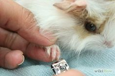 Cut Guinea Pig Claws Step 9 Version 2.jpg