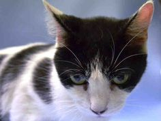 PATCHES - A1042977 - - Manhattan *** TO BE DESTROYED 07/19/15 *** PURRFECT PATCHES IS A ONE YEAR OLD COW CAT…..She has an EXPERIENCE rating but reading her behavior evaluation, she is a little lamb, meek and quiet. All she needs is time and TLC to make her feel right at home….BUT WILL SHE GET THAT CHANCE?? PATCHES has a cold and we all know what that means at the ACC…PLEASE OFFER TO FOSTER OR ADOPT THIS LITTLE GEM TONIGHT AND SAVE HER LIFE!! - Click fo