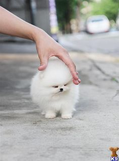 Pomeranian. It's just so little and cute