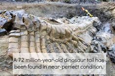 Huge Dinosaur Tail Discovered in Mexico: The well-preserved tail measures about 16 feet (5 meters) long, contains 50 vertebrate, and seems to have belonged to a hadrosaur — a duck-billed dino that lived about 72 million years ago. Hadrosaurs grew to be about 40 feet (12 m) long, so the tail would have taken up just under half the length of its body.