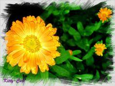 Kitty-Curl's verlockende Seifenblasen-Haargeheimnisse: Calendula - oder Ringelblume, die heilende Sonnenb...