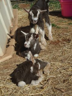 Toggenburg Goats, another breed I love.