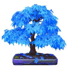 Hurry, before it is gone - Limited Time OfferIn Stock - Ships In 24 HoursDelivered Within 10 to 20 Business DaysWorldwide Shipping100% Satisfaction Gaurantee Description: Add a unique touch to your space with this Mystic Blue Maple Bonsai Tree. This beautiful planter gives off a zen and energizing aura, sprucing up you