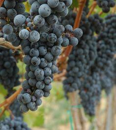 8 Washington Cabs to drink now #WallaWalla #WaWine #Wine #Cabernet
