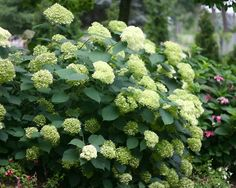 Hydrangea Lime Rickey- Height: Medium 3-4', bloom on new wood