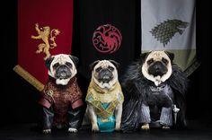 Pugs of Game of Thrones- slideshow - slide - 12 - TODAY.com