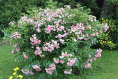 'Pink Grootendorst' (1923) Hybrid Rugosa Rose   Of Petals and Wool
